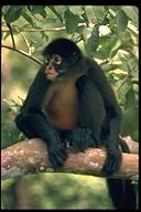Red spider monkey